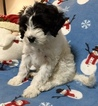 Portuguese Water Dog Puppy For Sale in TOOELE, UT