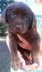 Labrador Retriever Puppy For Sale in EAU CLAIRE, WI, USA