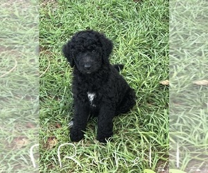 Labradoodle Puppy for Sale in PLACIDA, Florida USA