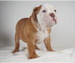 Small Photo #7 Bulldog Puppy For Sale in NAPPANEE, IN, USA