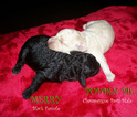 Poodle (Toy) Puppy For Sale in LYNCHBURG, VA, USA