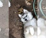 Small Photo #27 Wolf Hybrid Puppy For Sale in FILLMORE, LA, USA