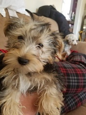 Morkie Dog for Adoption in STROUDSBURG, Pennsylvania USA