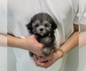 Poodle (Toy) Puppy for sale in REDLANDS, CA, USA