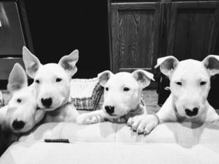 Bull Terrier Puppy For Sale in FAYETTEVILLE, AR