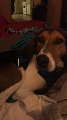 Treeing Walker Coonhound-Unknown Mix Dog For Adoption in PORT HURON, MI, USA