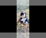 Puppy 6 Bordernese