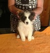 Border Collie Puppy For Sale in MEADOWVIEW, VA, USA
