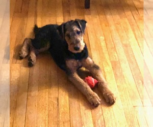 Airedale Terrier Puppy for Sale in TIMMONSVILLE, South Carolina USA