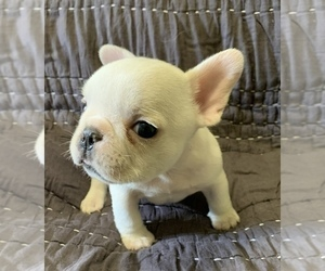 French Bulldog Puppy for Sale in MBORO, Tennessee USA