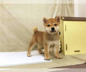 Shiba Inu Puppy for sale in OAKLAND, CA, USA