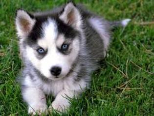 Siberian Husky Dog For Adoption in EDEN PRAIRIE, MN