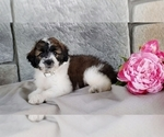 Puppy 8 Poodle (Miniature)-Saint Bernard Mix