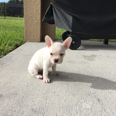 French Bulldog Puppy for sale in WINDERMERE, FL, USA