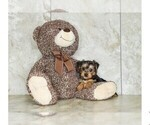 Morkie Puppy For Sale in CLEVELAND, NC, USA