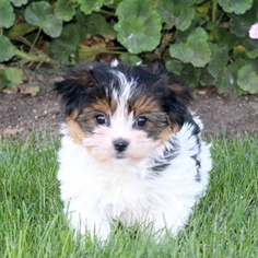 Morkie Puppy for sale in GAP, PA, USA