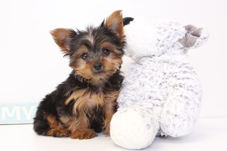 Yorkshire Terrier Puppy For Sale in NAPLES, FL