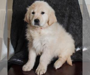 English Cream Golden Retriever Puppy for sale in MANHEIM, PA, USA