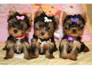 Yorkshire Terrier Puppy for sale in CAPE CORAL, FL, USA