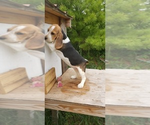 Beagle Puppy for Sale in PLATTEVILLE, Wisconsin USA