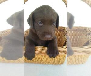 Labrador Retriever Puppy for sale in HUDSON, MI, USA