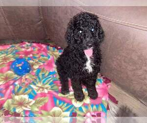 Labradoodle-Poodle (Standard) Mix Puppy for sale in SOMIS, CA, USA