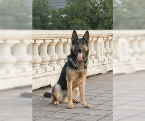 German Shepherd Dog Puppy for sale in BURLINGTON, CT, USA