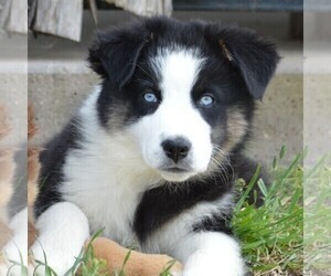 Miniature Australian Shepherd Puppy for Sale in STEPHENVILLE, Texas USA