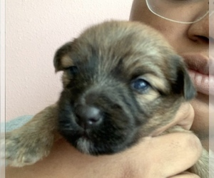 Yorkshire Terrier Puppy for sale in SAVANNAH, GA, USA