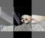 Mal-Shi Puppy For Sale in MC DONOUGH, GA, USA