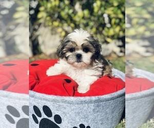 Shih Tzu Puppy for Sale in LOS ANGELES, California USA