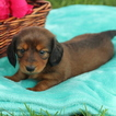 Dachshund Puppy For Sale in GAP, PA,