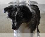 Small Photo #1 Australian Shepherd Puppy For Sale in LANDRUM, SC, USA