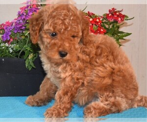 Medium Poodle (Miniature)