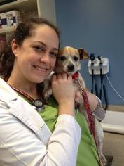 Dexter - Chihuahua / Jack Russell Terrier / Mixed (short coat) Dog For Adoption