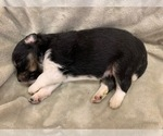 Puppy 1 Miniature American Shepherd