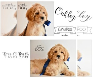 Cavapoo Puppy for sale in SPRING BRANCH, TX, USA