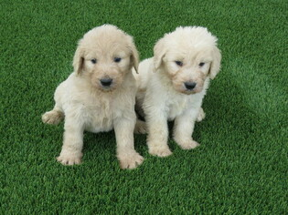 Goldendoodle Puppy For Sale in MESA, AZ, USA