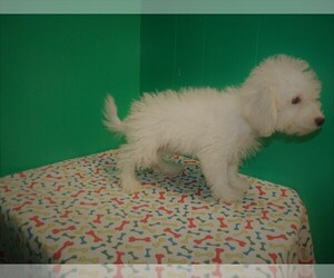 Poochon Dog for Adoption in PATERSON, New Jersey USA
