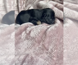 French Bulldog Puppy for sale in WEBBERVILLE, MI, USA