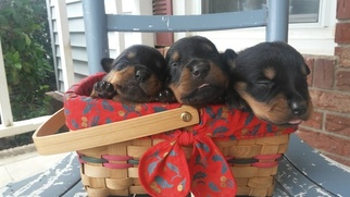 Rottweiler Puppy for sale in BATESBURG, SC, USA