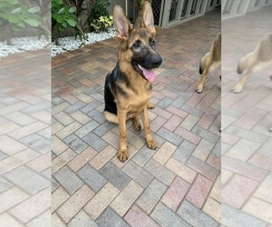 German Shepherd Dog Puppy for sale in HOLLYWOOD, FL, USA