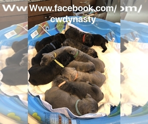 Cane Corso Puppy for sale in PLEASANT VALLEY, NY, USA