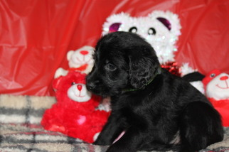 Labradoodle Puppy For Sale in BROKEN BOW, OK, USA