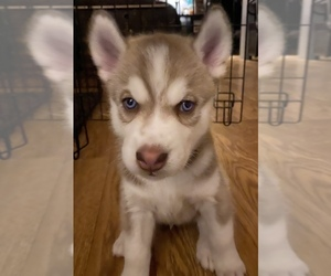 Siberian Husky Puppy for Sale in WOODSTOCK, Virginia USA