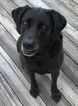 Labrador Retriever Dog For Adoption in WINTERVILLE, NC, USA