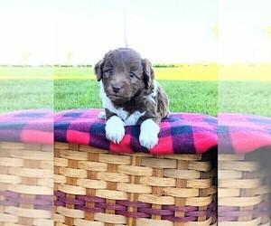 F2 Aussiedoodle Puppy for Sale in GARNETT, Kansas USA