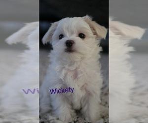 Maltese Puppy for sale in AURORA, IL, USA