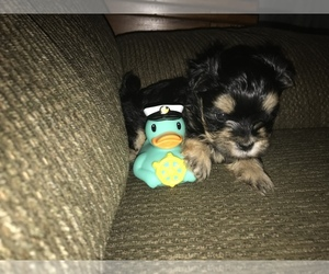 Morkie Puppy for sale in MUSCATINE, IA, USA