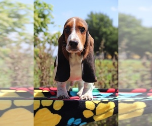 Basset Hound Puppy for sale in UNION CITY, TN, USA